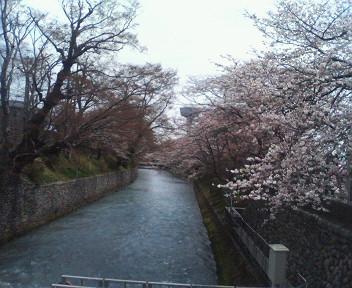 櫻・七分咲〜満開です
